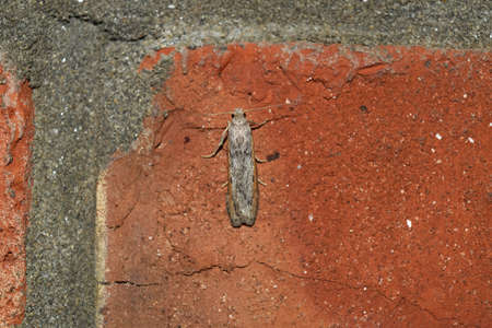 lepidopteran: Night butterfly on a brick wall. The flying insects to the light bulb.