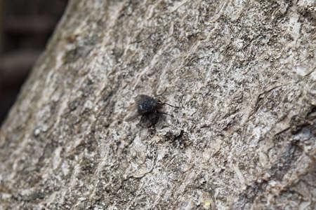 scavenger: Seated big black fly. Scavenger peddler and microbes.