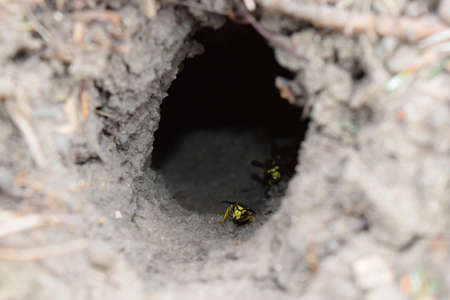 chewed: Log into the slot vespula vulgaris. Wormhole leading to the hornets nest in the ground. Jack predatory wasps.