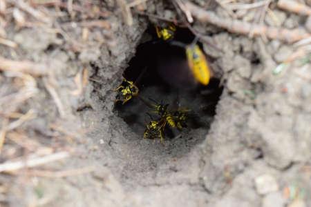 saliva: Log into the slot vespula vulgaris. Wormhole leading to the hornets nest in the ground. Jack predatory wasps.