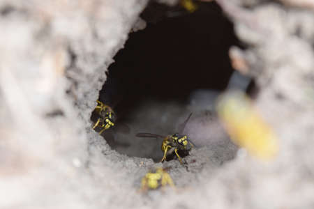 wormhole: Log into the slot vespula vulgaris. Wormhole leading to the hornets nest in the ground. Jack predatory wasps.