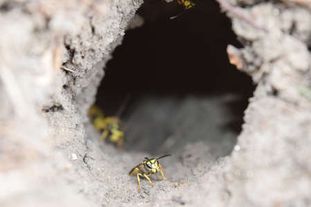 paper wasp: Log into the slot vespula vulgaris. Wormhole leading to the hornets nest in the ground. Jack predatory wasps.