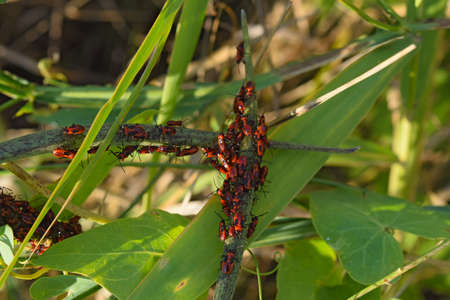 copulation: Firebugs mating and walking backwards. Spring nature fire bug red insects macro. Red bugs in the grass.