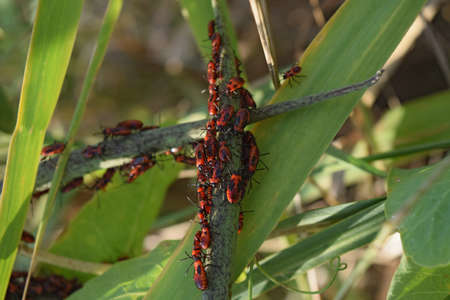 firebug: Firebugs mating and walking backwards. Spring nature fire bug red insects macro. Red bugs in the grass.