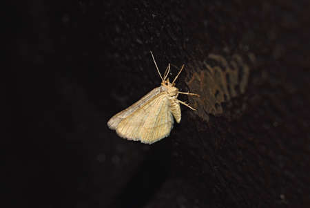drawn metal: White night butterfly on the painted metal surface. Moths are drawn to the light. Stock Photo