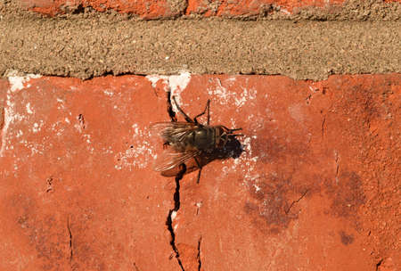 pollinator: Hoverfly sitting on a brick wall. Diptera insect pollinator plants. Stock Photo