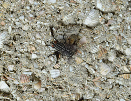 scavenger: Big fly with white stripes sitting on a block wall. Two-winged insects, scavenger and peddler of microbes. Stock Photo