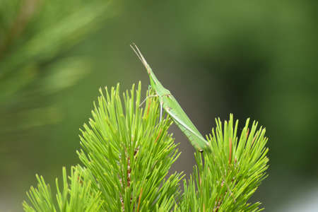 acrididae: Green locusts, orthoptera insect. Ordinary locusts on the young conifers.