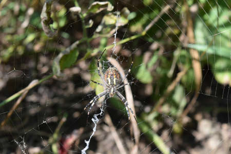 arachnoid: Argiopa Spider on the web. Arachnid predator. Stock Photo