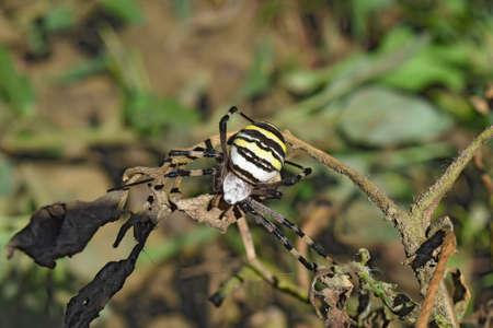 arachnophobia animal bite: Argiopa Spider on the web. Arachnid predator. Spider crawling on the dry grass.