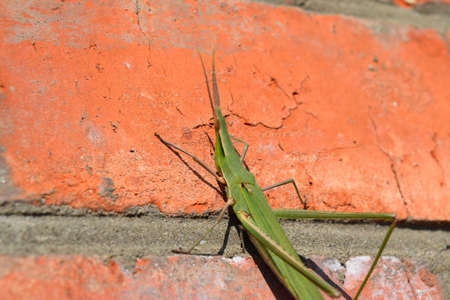 acrididae: Green locusts, orthoptera insect. Ordinary locusts on a brick wall.