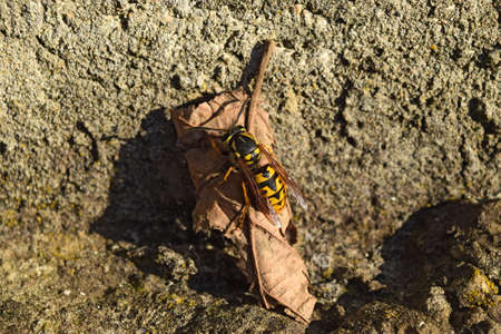 chitin: The female wasp common after hibernation. Wasp basking in the sun. Stock Photo