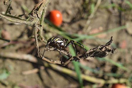 arachnoid: Argiopa Spider on the web. Arachnid predator. Spider crawling on the dry grass.