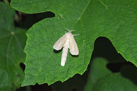 lepidopteran: Night white butterfly. Night butterfly on a grape leaf. Female white butterfly with a big belly.