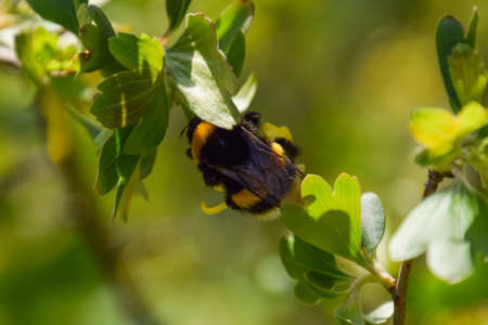 pollination: Bumblebee on the flowers of golden currant. Plant pollination by insects. Stock Photo