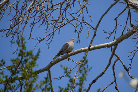 chordates: Turtledove on a branch of a silver poplar. Spring bird flights.
