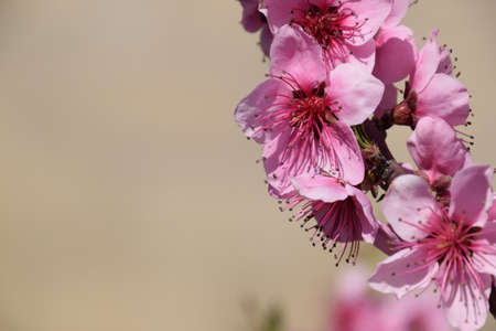 pollination: Blooming wild peach in the garden. Spring flowering trees. Pollination of flowers of peach. Stock Photo