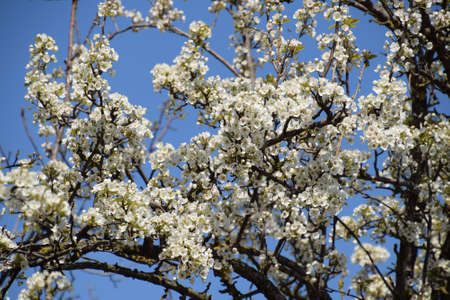 pollination: Blooming wild pear in the garden. Spring flowering trees. Pollination of flowers of pear. Stock Photo