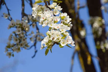 pollination: Pollination of flowers by bees pears. White pear flowers is a source of nectar for bees. Pollination of fruit trees.