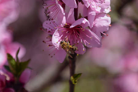 pollination: Pollination of flowers by bees peach. White pear flowers is a source of nectar for bees. Pollination of fruit trees.