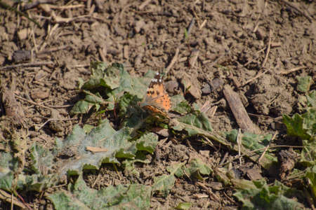 butterflies flying: The Small tortoiseshell on the plant. Spring butterflies flying.