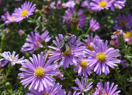 pollinate: Fly drinking nectar on a light purple flowers. Insects pollinate flowers. Stock Photo