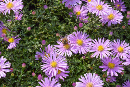 syrphidae: Bee drinking nectar on a light purple flowers. Insects pollinate flowers.