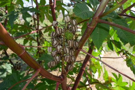 planta de frijol: semillas de ricino en el tallo. La parte vegetativa de la planta de ricino.