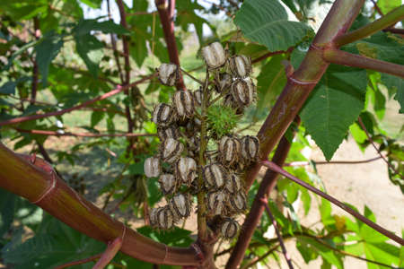 Castor seeds on the stem. The vegetative part of the castor bean plant. Stock Photo