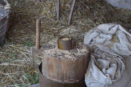 threshing: Grains of wheat and corn on a stump. Manual threshing grain.