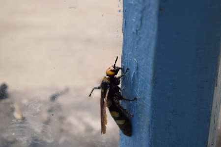 chitin: Megascolia maculata. The mammoth wasp. Scola giant wasp on a wooden box. Stock Photo
