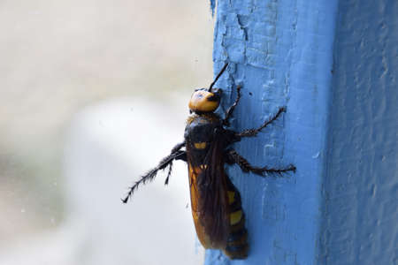 black mammoth: Megascolia maculata. The mammoth wasp. Scola giant wasp on a wooden box. Stock Photo