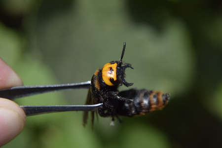 black mammoth: Megascolia maculata. The mammoth wasp. Wasp on Scola giant tweezers.