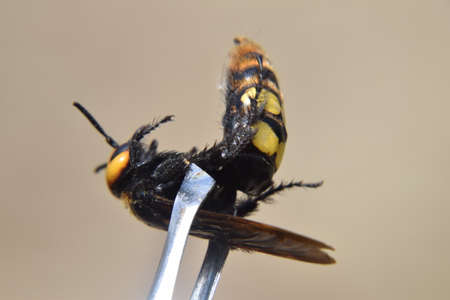 mammoth: Megascolia maculata. The mammoth wasp. Wasp on Scola giant tweezers.