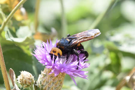 black mammoth: Megascolia maculata. The mammoth wasp. Scola giant wasp on a flower.