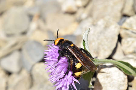 chitin: Megascolia maculata. The mammoth wasp. Scola giant wasp on a flower.