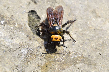 black mammoth: Megascolia maculata. The mammoth wasp. Wasp Scola - giant concrete to drink water from a puddle. Stock Photo