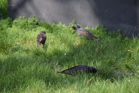 black feathered: Starlings walk on the grass. Corvids starling.