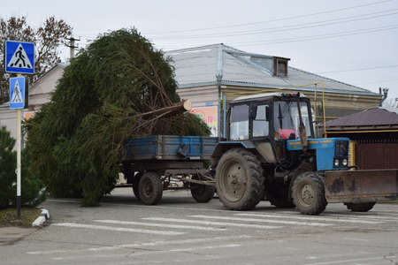put away: Russia, Poltavskaya village - January 21, 2016: Dismantling the Christmas tree.