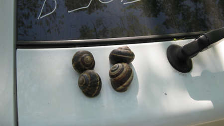 invertebrate: Snail. The invertebrate animal belonging to the bryukhonogy