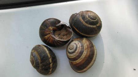 belonging: Snail. The invertebrate animal belonging to the bryukhonogy