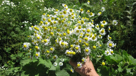 The camomile flowers growing in a garden.