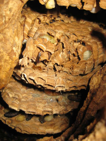 big Hornet's nest in a tree hollow