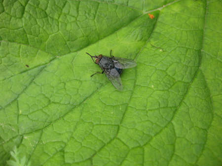 wet flies: Fly on a leaf of a grass in a garden. Spring photos of insects.