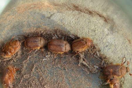 planta con raiz: Melolontha hacia el este en el suelo. sistema de raíces de las plantas de plagas, la imago.
