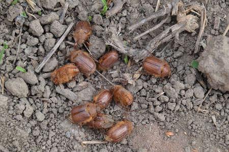 beine spreizen: Melolontha Osten auf dem Boden. Pest Pflanzenwurzelsystem, das Imago.