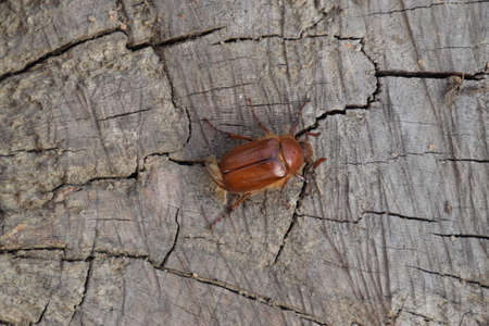 imago: Melolontha east on the ground. Pest plant root system, the imago.