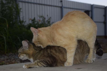 coitus: Mating domestic cats. The natural behavior of the animals. Stock Photo