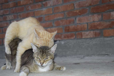 sexual reproduction: Mating domestic cats. The natural behavior of the animals. Stock Photo