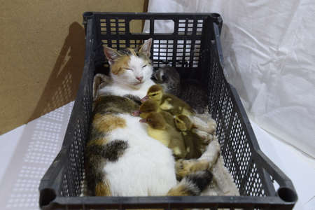 foster: Cat foster mother for the ducklings. Cat in a basket with kitten and receiving musk duck ducklings.